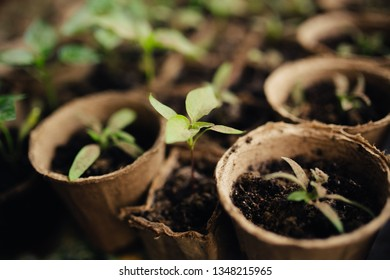 Growing seedlings in peat pots. Plants seeding in sunlight in modern botany greenhouse, horticulture and cultivation of ornamental plans. Gardening concept.Young fresh seedling stands in plastic pots.