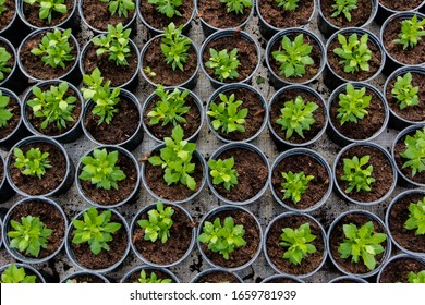 Growing seedlings in peat pots. Plants in a greenhouse, gardening and growing decorative plants, top view.