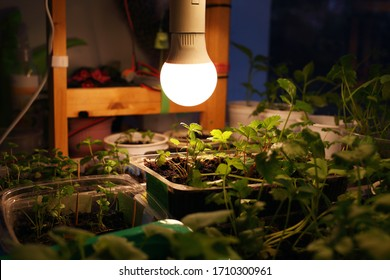 Growing seedlings of strawberries, parsley, peppermint in transparent, white plastic containers on black soil under light of LED lamp in solar spectrum. Lamp illuminates young plants at night spring