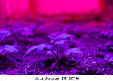 Growing seedlings under special artificial LED Grow Light Full Spectrum phyto lamps with a spectrum favorable for plants without sunlight. Lightening in greenhouses. Industrial cultivation. Soft focus