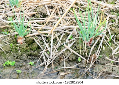 Growing shallots in the vegetable garden, shallots need plenty of water, green shallot can add its intense flavor to a wide variety of dishes
