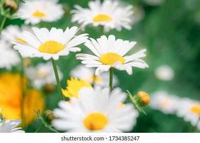 The growing shasta daisy alaska