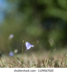 Growing single Bluebell closeup by a natural green background