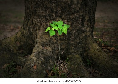 Growing small tree (Ficus rumphii) beside an old root