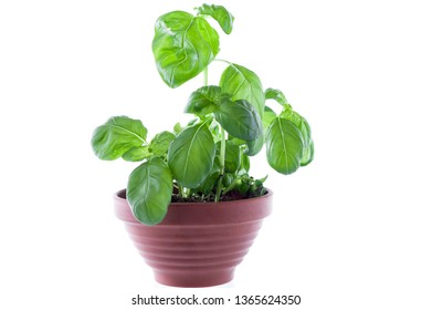 Growing spices in a flowerpot. Spices at home. Center frame.