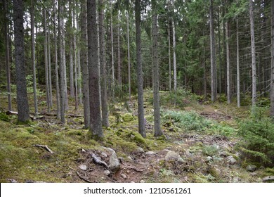Growing spruce forest with tall tree trunks