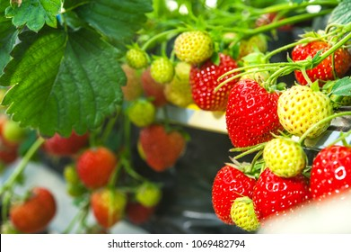 Growing strawberries in a greenhouse. Harvesting.