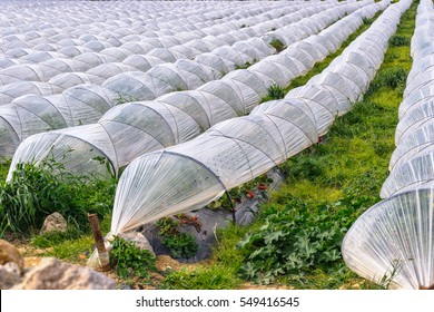 Growing of strawberries under low polyethylene tunnels