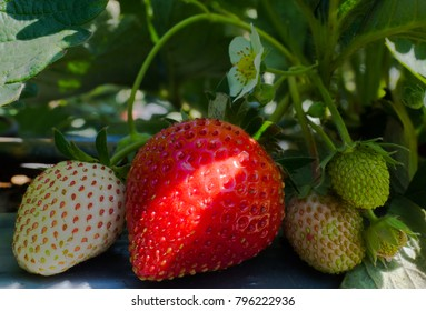 Growing of strawberry