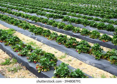 growing strawberry fields