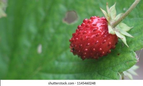 Growing strawberry plant and fruit