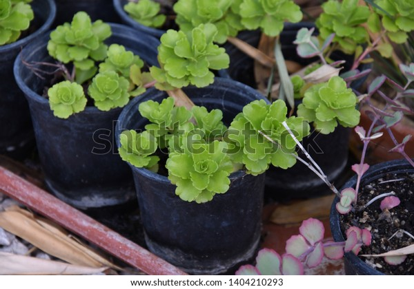 Growing Succulents Pots Home Stock Photo Edit Now 1404210293