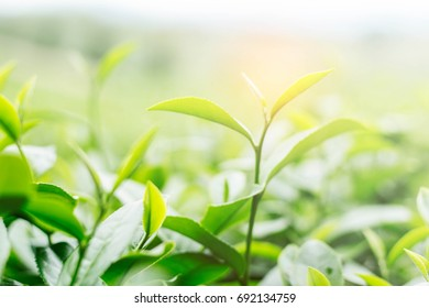 Growing tea with natural of sunlight.