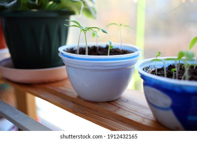 Growing tomato seedlings in white plastic round yogurt container on natural wooden brown bench near window. Beautiful young plants of tomatoes with tender small green leaves grow on black soil spring