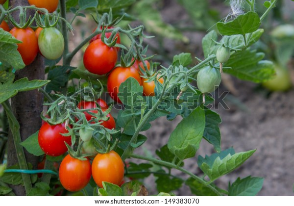 Growing Tomatoes Garden Close Stock Photo Edit Now 149383070