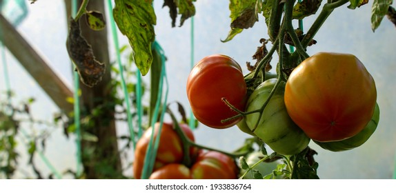 Growing tomatoes in a greenhouse. Green, orange and red tomatoes. Tomato. Banner.