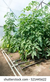 Growing tomatoes in the greenhouse. The technology of drip irrigation in greenhouse.