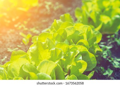Growing vegetables in the garden. lettuce patch in the vegetable field under sunshine