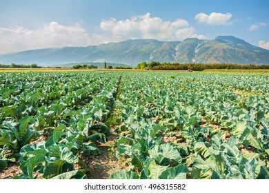 Growing vegetables. Great field of broccoli on a summer day.