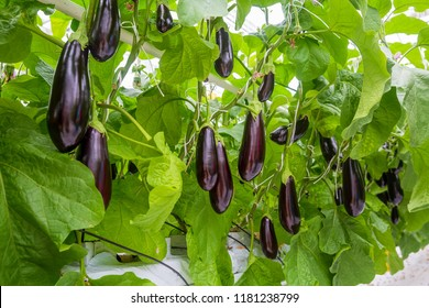 growing vegetables in an industrial greenhouse eggplant