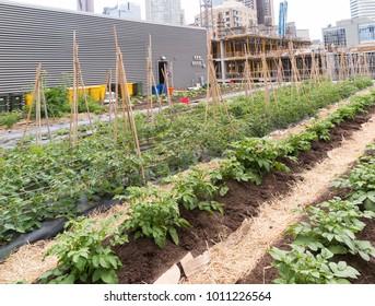 Growing vegetables on roof of urban building