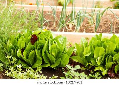 Growing vegetables in organic vegetable garden.