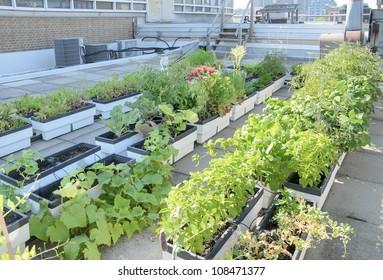 Growing vegetables in rooftop garden of city building