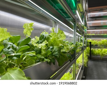 Growing Vegetables and Salad Leaves the Polycarbonate High-tech Indoor Greenhouse the Aluminum Shelves Under Artificial Light.