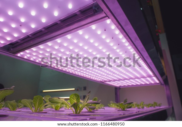 Growing vegetables using LED light.Grow vegetables in the building.