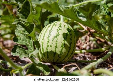 A growing watermelon