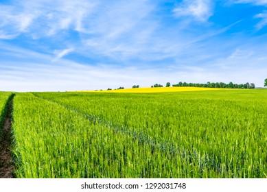 Growing wheat field, green spring landscape
