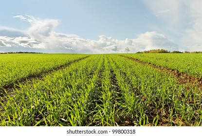 Growing wheat on field in a morning.