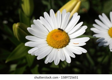 Growing white chamomiles in garden - Shutterstock ID 1589725651