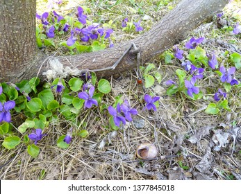 Growing wild common violet plant (wood violet, viola odorata, dog wild violet, viola hirta, viola sororia, sweet violet, Queen Charlotte flower).
