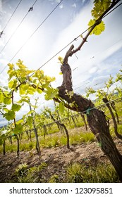A growing wine rank in the Elzas region, France