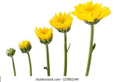 Growing yellow flowers