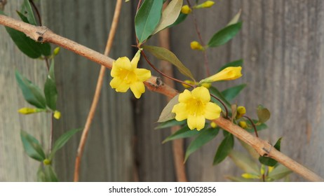 1000 Yellow Jessamine Pictures Royalty Free Images Stock Photos