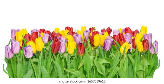 Growing yellow, lilac, red tulips isolated on white.