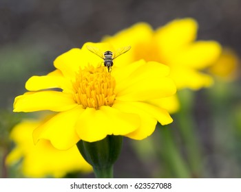 Growing yellow and orange striped marigold flowers being visited by a hoverfly with a natural garden foliage as it's background. Very shallow focus on just the main flower centre.