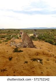 Growling Cheetah protecting