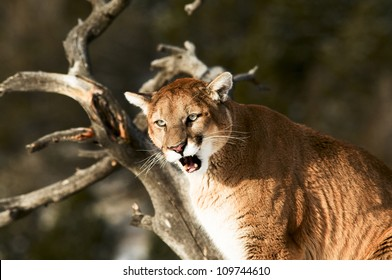Growling Cougar in Tree