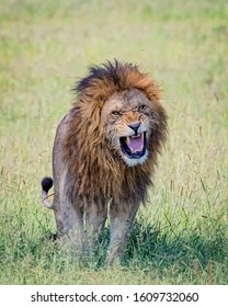 Growling male lion in Africa