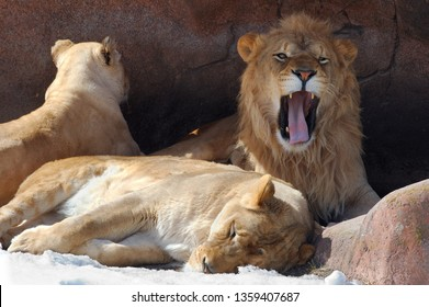 Growling male lion in den with two females
