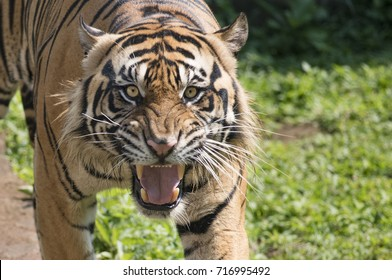 Growling voice of sumatran tiger
