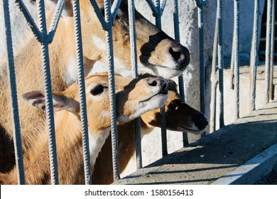 An grown deer and two small deer are standing near a metal blue fence. Deers stuck their faces into the fence. Close-up side view. Autumn sunny day.