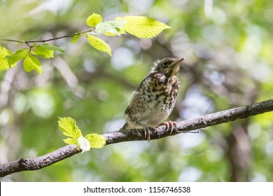 Grown fieldfare chick sitting on a branch with green blurred background. Young fieldfare (Turdus pilaris) fledgling in spring forest under fresh leaves.