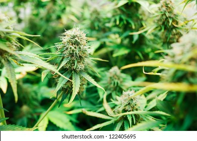 Grown marijuana foliage