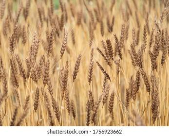 A grown wheat field. Taken in Tokyo.