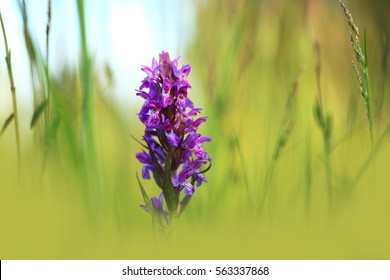 It grows in the plains and in the mountains. Western Marsh Orchid is widespread in Europe in the strip between Great Britain, France, northern Italy, southern Scandinavia and parts of Russia.