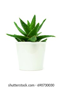 Growth of aloe vera in the flowerpot isolated on white background